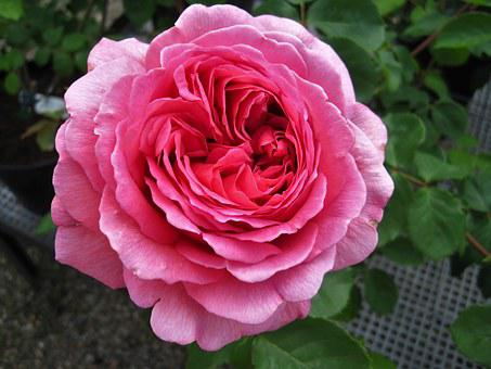 Floribunda, Rose, Filled, Garden Rose, Blossom, Bloom