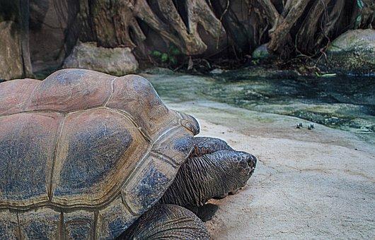 Seychelles Giant Tortoises, Giant Tortoises