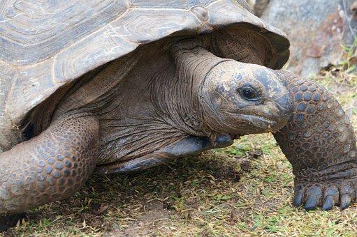 Turtle, Age, Panzer, Speed, Seychelles, Tortoise