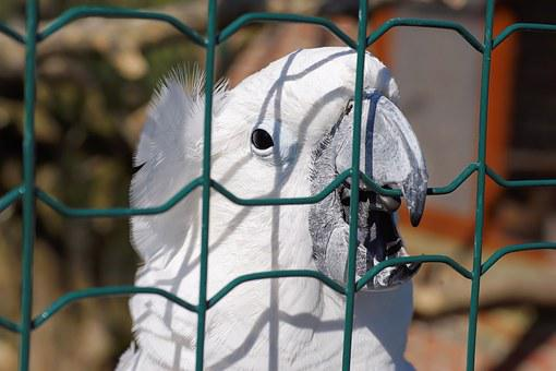 Sulphur-crested Cockatoo, White Cockatoo