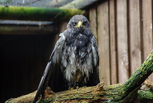 White Tailed Eagle, Falconry, Raptor, Animal, Close