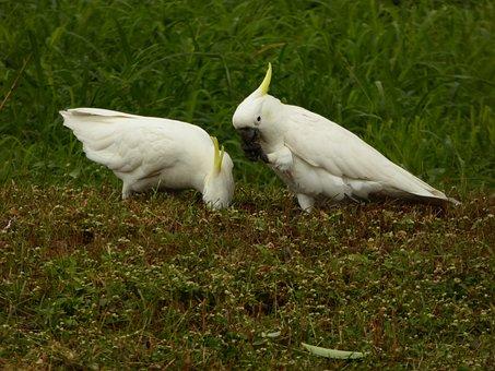 Bird, Cockatoo, Parrot, Sulphur Crested, Wildlife