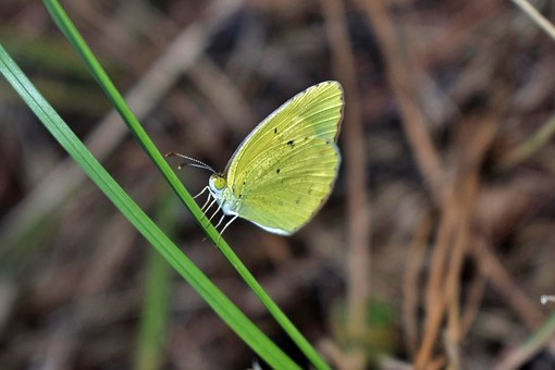 Butterfly, Yellow Butterfly, Sulphur, Sulphur Butterfly