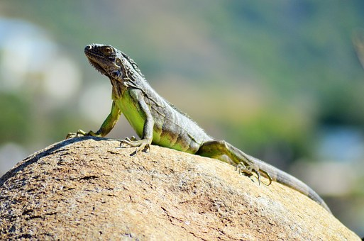 Iguana, Reptile, Lizard, Animal, Fauna, Nature