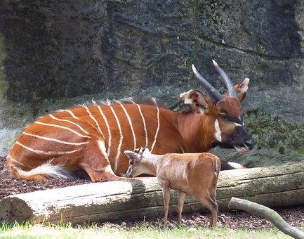 Bongo, Animal, Mammal, Africa, Zoo, Concerns, Rest