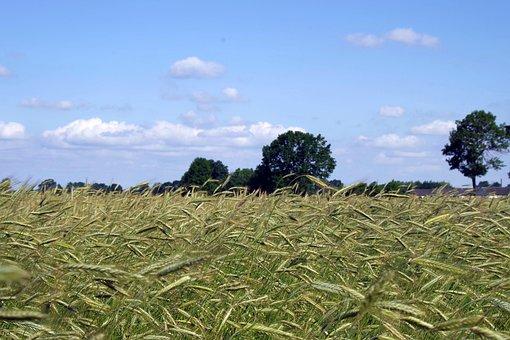 Corn, Harvest Festival, Rye, Field, Harvest, Wheat