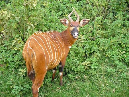Mountain Bongo, Animal, Mammal, Wildlife, Deer, Striped