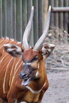 Horn Animal, Antelope, East African Bongo, Animal World