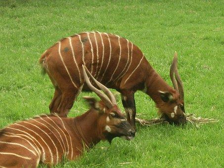Antelope, Central Africa, Endangered, Bongo, Animal