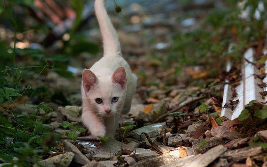 Kitten, Accommodating, Odd-eye Cat, Eyes, White Cat