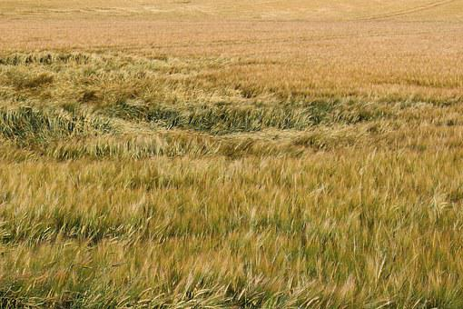 Barley, Field, Wind, Eddy, Summer, Agriculture, Cereals
