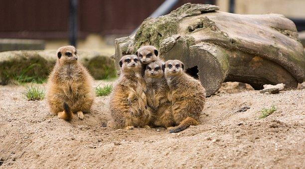 Meerkat, Meerkats, Family, Group, Odd, One, Huddled