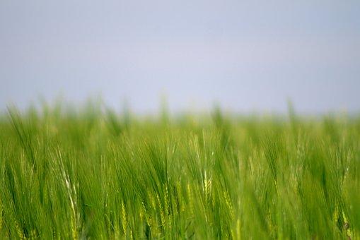 Corn, Harvest Festival, Rye, Barley, Field, Summer