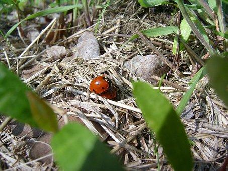 Ladybug, Red, Act, Pairing, Dry, Green, Beige, Hay