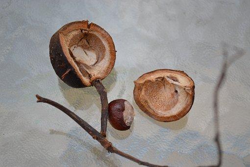 Conker, Horse Chestnut, Chestnut, Seed, Husk, Close-up