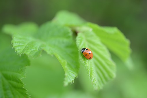 Leaf, Ladybug, Green, Beetle, Nature, Insect, Points