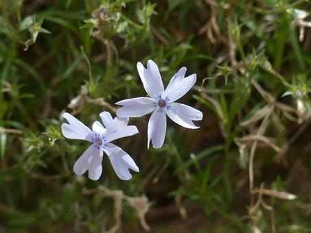 Cushion Phlox, Blossom, Bloom, Plant, Light Blue