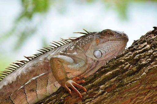 Guane, Reptile, Lizard, Animal, Fauna, Nature, Dinosaur