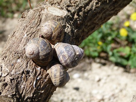 Snails, Snail, Branch, Gastropod, Lunch, Starter, Slow