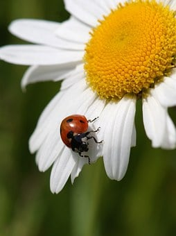 Ladybug, Marguerite, Nature, Insect, Blossom, Bloom