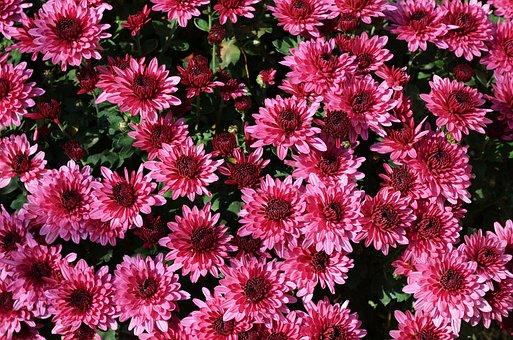 Flowers, Chrysanthemum, Flowerpots, Nature, Flower