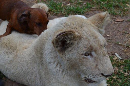 Lion With Dog, Lion, Dog, Africa, Wildlife, Odd Couple