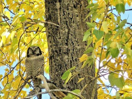 Great Grey Owl, Owl, Waterton Parks, Alberta, Canada