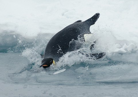 Emperor Penguin, Penguin, Aptenodytes Forsteri