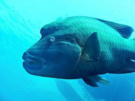 Egypt, Red Sea, Sea, Fish, Napoleon, Underwater