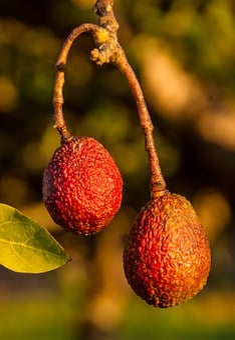 Hass Avocado, Avocados, Fruit, Red, Sunburnt, Growing
