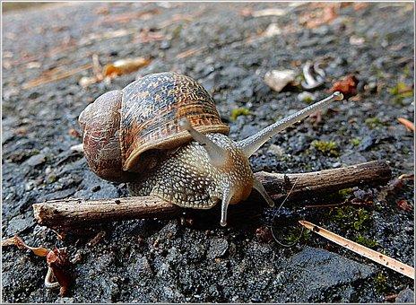 Snail, Garden, Pest, Nature, Gastropod, Shell, Brown