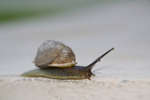 Snail, Slow, Moving, Shell, Slimy, Invertebrate