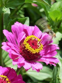 Macroglossum Stellatarum, Sphinx Hummingbird