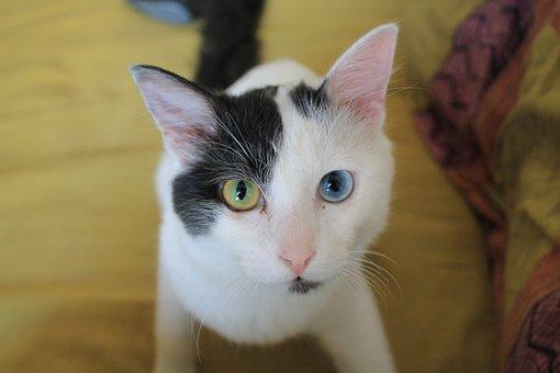 Odd-eyed, Cat, Black, White, Eyes, Cute