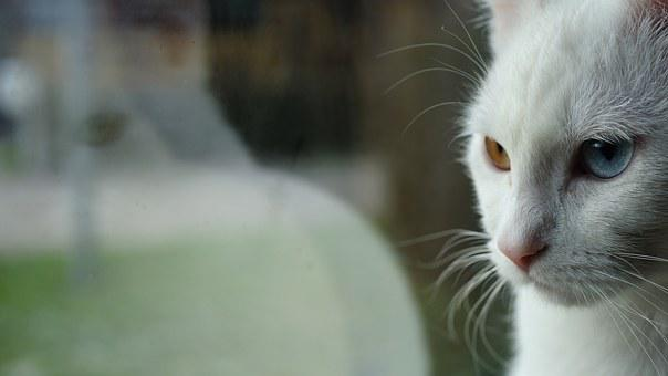 Reflection, Cats Eyes, Two-tone, White Cat, Odd-eye
