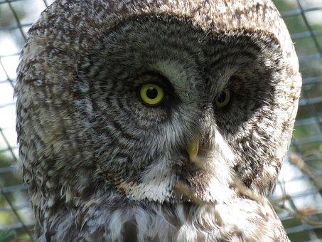 Great Grey Owl, Strix Nebulosa, Owl, Bird, Animal, Zoo