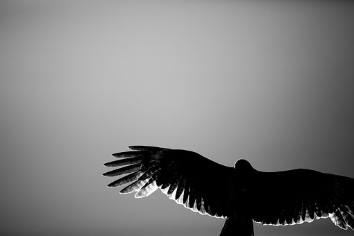 Hawk, Black And White, Backlight, Animal