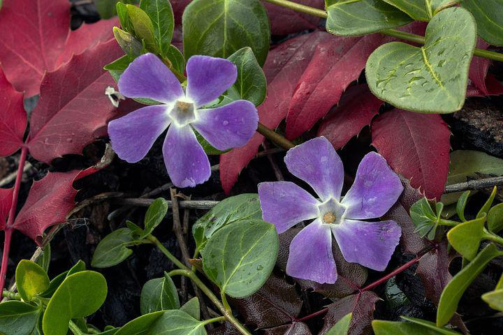 Small Periwinkle, Flower, Blossom, Bloom, Spring