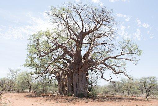Tree, Boabab, Landscape, Africa, Baobab, Tourism, Old