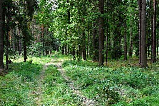 Forest, Mixed, Spruce, Branches, Path, Grass, Long