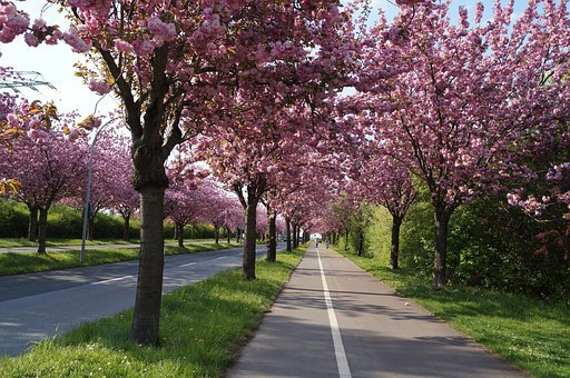 Cherry Blossom, Cherry, Tree, Magdeburg Wrong, Spring