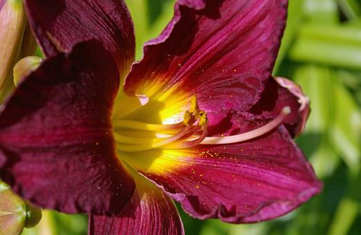 Flower, Daylily, Lily, Plant, Blossom, Bloom, Close