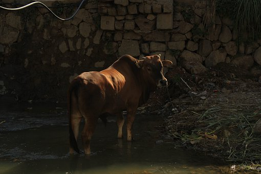 Cow, Animal, Farm, Agriculture, Cattle, Beef, Mammal