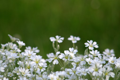 Flowers, Little Flowers, White, Cream, Delicate, A Lot