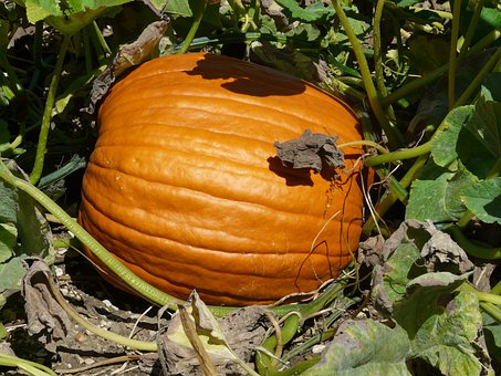 Pumpkin, Cucurbita Maxima, Choose, Cucurbitaceae, Fruit