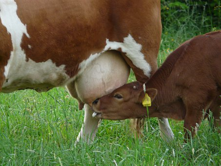 Cow, Udder, Suckle, Calf, Young Animal, Milk, Drink
