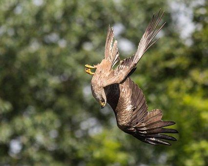 Milan, Nosedive, Bird, Feather, Raptor, Flying, Fauna