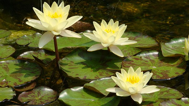 Lotus, Waterlily, Floating, Yellow, Flower, Pond, Lily