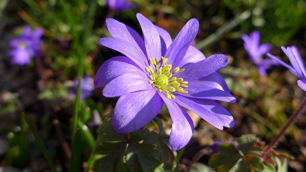 Anemone, Violet, Purple, Flower, Blossom, Bloom, Plant