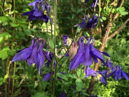 Columbine, Garden Plant, Violet, Purple, Two, Flowers